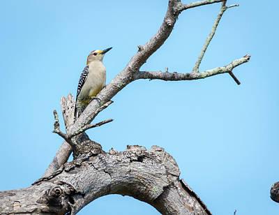 Photograph - Male Golden-fronted Woodpecker by Debra Martz