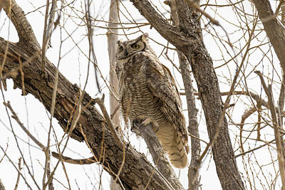 Photograph - Male Great Horned Owl Keeping Watch by Tony Hake