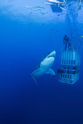 Reef Shark Wall Art - Photograph - Male Great White With Cage, Guadalupe by Todd Winner