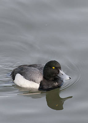 Photograph - Male Greater Scaup by Robert Potts