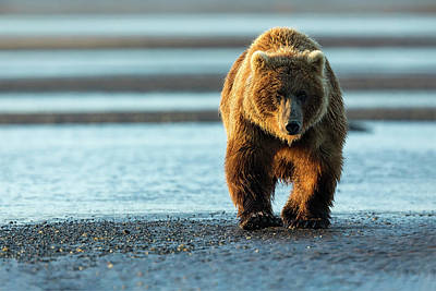Photograph - Male Grizzly At Low Tide by Mark Harrington