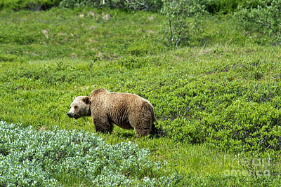 Photograph - Male Grizzly Bear by David Arment