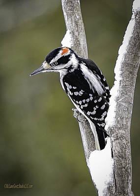 Orchard Photograph - Male Hairy Woodpecker by LeeAnn McLaneGoetz McLaneGoetzStudioLLCcom