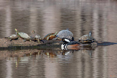 Photograph - Male Hooded Merganser And Basking Red-eared Sliders Dwf0163 by Gerry Gantt