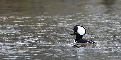 Photograph - Male Hooded Merganser by Carla Parris