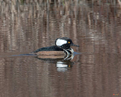 Photograph - Male Hooded Merganser Dwf0161 by Gerry Gantt