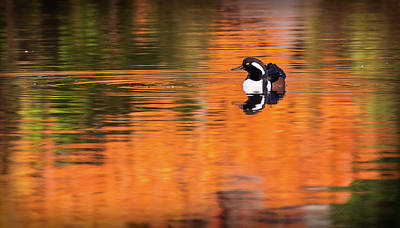 Photograph - Male Hooded Merganser In Autumn by Will Bailey