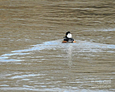 Photograph - Male Hooded Merganser by Kathy M Krause