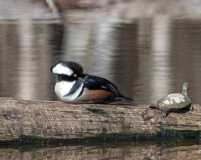 Photograph - Male Hooded Merganser Resting Dwf0170 by Gerry Gantt
