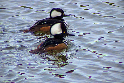 Photograph - Male Hooded Merganser by Ron Grafe