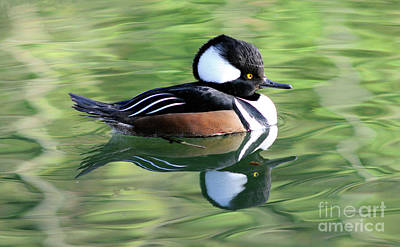 Photograph - Male Hooded Merganser by Terry Elniski