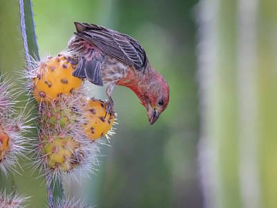 Photograph - Male House Finch 0655-051318-1cr by Tam Ryan