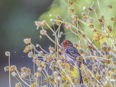 Photograph - Male House Finch 7335 by Tam Ryan