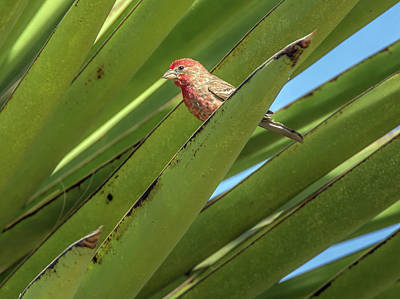 Photograph - Male House Finch 7498 by Tam Ryan