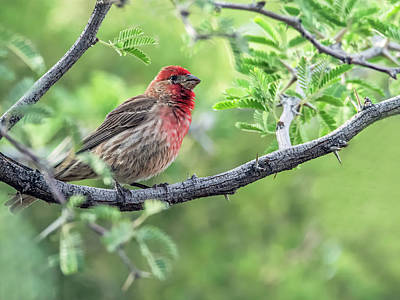 Photograph - Male House Finch 9433 by Tam Ryan