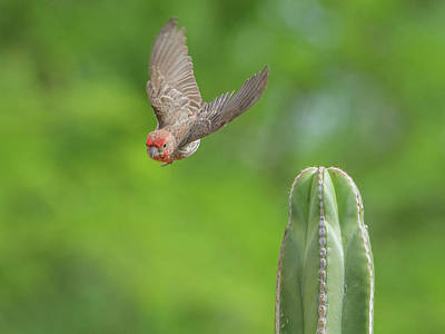 Photograph - Male House Finch 9565 by Tam Ryan