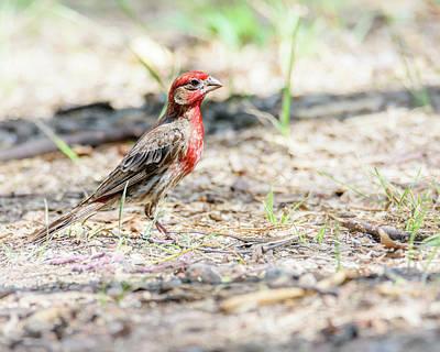 Photograph - Male House Finch Foraging by Debra Martz
