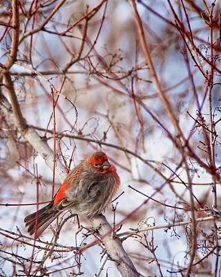 Photograph - Male House Finch Holds In The Heat by Flying Z Photography by Zayne Diamond