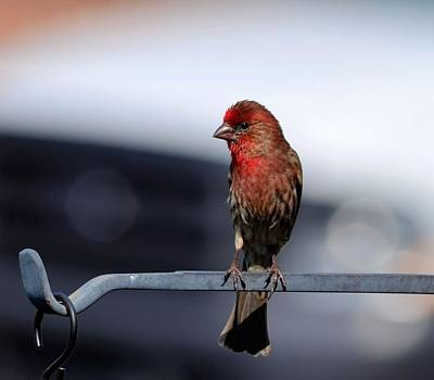 Photograph - Male House Finch by Kathy Eickenberg