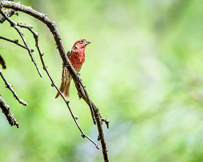 Photograph - Male House Finch Out On A Limb by Debra Martz