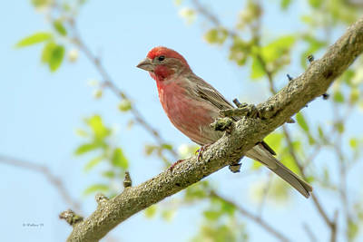 Photograph - Male House Finch Perched by Brian Wallace