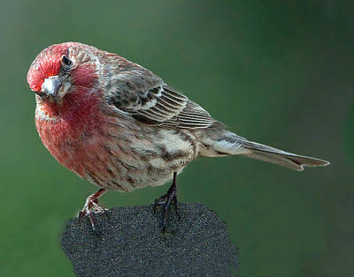 Photograph - Male House Finch Perched by William Bitman
