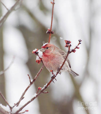 Photograph - Male House Finch With A Snow Cap by Kerri Farley