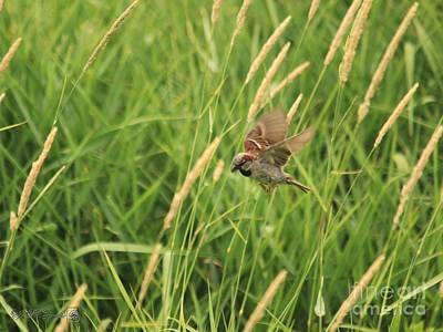 Photograph - Male House Sparrow In Flight by J McCombie