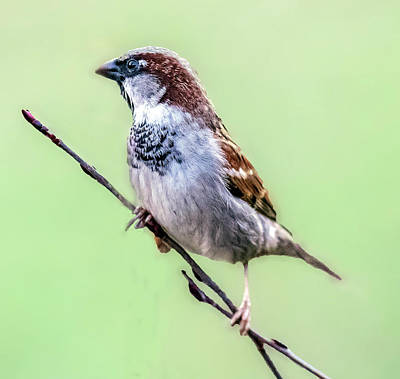 Photograph - Male House Sparrow Profile by William Bitman