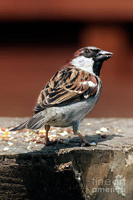 Photograph - Male House Sparrow by Terri Waters