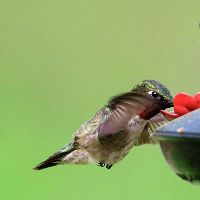 Florescent Lighting Photograph - Male Hummer At Feeder by Geraldine Scull