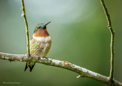 Photograph - Male Hummingbird In A Tree by Phil and Karen Rispin