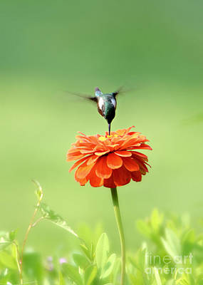 Photograph - Male Hummingbird by Lila Fisher-Wenzel