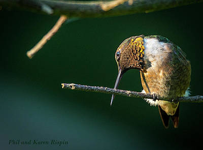 Photograph - Male Hummingbird Preening by Phil and Karen Rispin