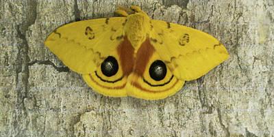 Photograph - Male Io Moth On Bark Of Tree by Douglas Barnett