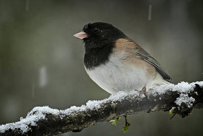 Photograph - Male Junco - 365-338 by Inge Riis McDonald