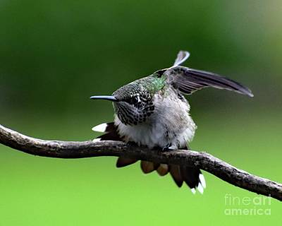 Wild And Wacky Portraits Rights Managed Images - Male Juvenile Alpha Ruby-throated Hummingbird Royalty-Free Image by Cindy Treger