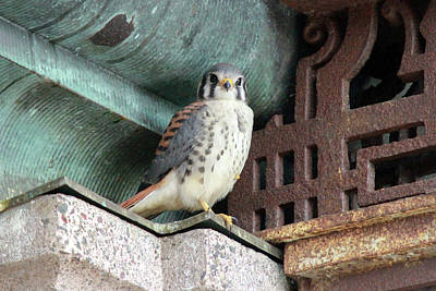 Photograph - Male Kestrel In Providence by Peter Green