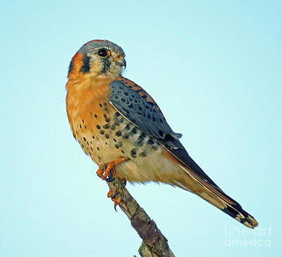 Photograph - Male Kestrel  by Larry Nieland