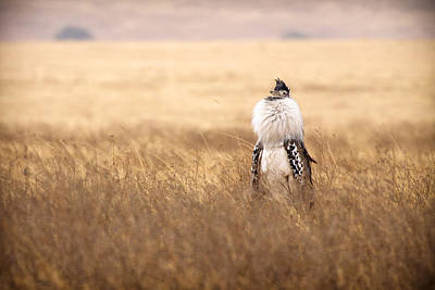 Male Kori Bustard Art Print by Adam Romanowicz