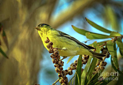 Male  Lesser Goldfinch Art Print