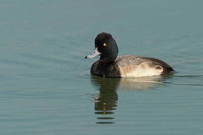 Photograph - Male Lesser Scaup by Ram Vasudev