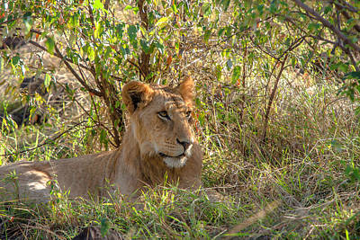 Photograph - Male Lion At Rest by Mark Coran