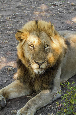 Photograph - Male Lion At Sunset by Mark Coran