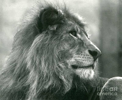 Of Cats Photograph - Male Lion  by Frederick William Bond