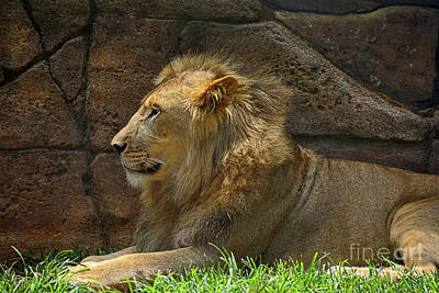 Photograph - Male Lion Resting By Kaye Menner by Kaye Menner