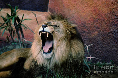 Photograph - Male Lion Roaring by Wernher Krutein