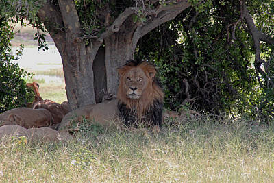 Photograph - Male Lion by Tony Murtagh