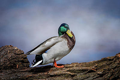 Photograph - Male Mallard 3 by Susan McMenamin