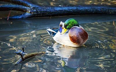 Photograph - Male Mallard Deck In Nature by Vishwanath Bhat
